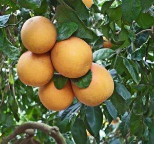 grapefruit aroma
