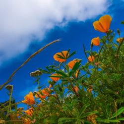 California Poppy Dreamer