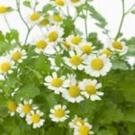 feverfew headache relief tea
