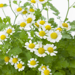 Feverfew Headache Relief Tea Recipe
