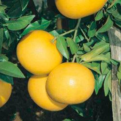 Grapefruit Aroma to Improve Mood
