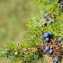 Topical Anti-inflammatory Studies for Pine, Juniper, & Cedarwood