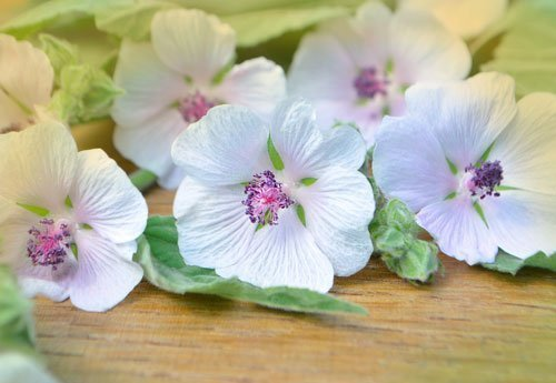 Marshmallow (Althaea officinalis) Research – Earth to Kathy