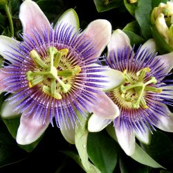 Passion Flower Tea to Help Reduce Anxiety