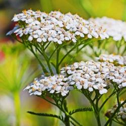 Asteraceae Anxiolytics
