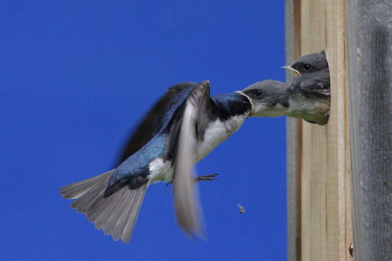 yarrow and tree swallow